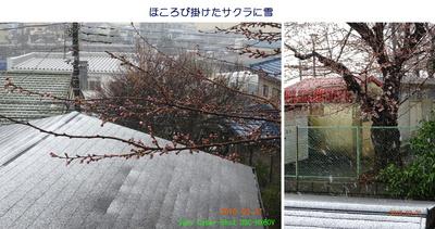 0321花に雪.jpg