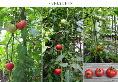 0720トマト.jpg