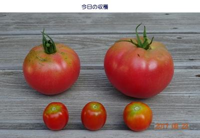 20170823トマト収穫.jpg